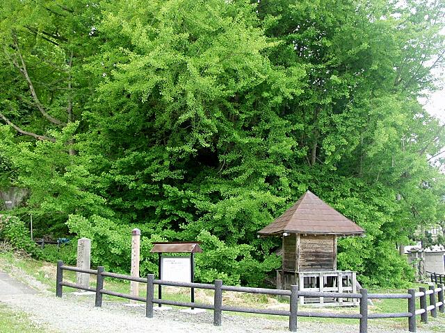 北金ヶ沢大銀杏