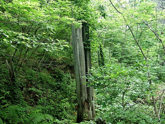 ヒバ埋没林