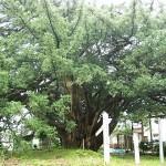 万松寺の大カヤ