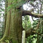 八幡様の御神木