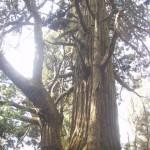 大林寺沢の大杉