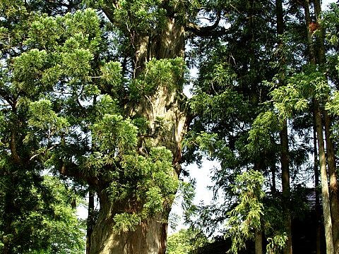 熊野神社の大杉