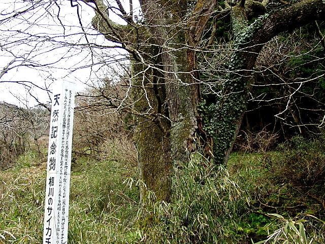 相川のサイカチ