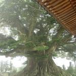 称名寺のシイの木