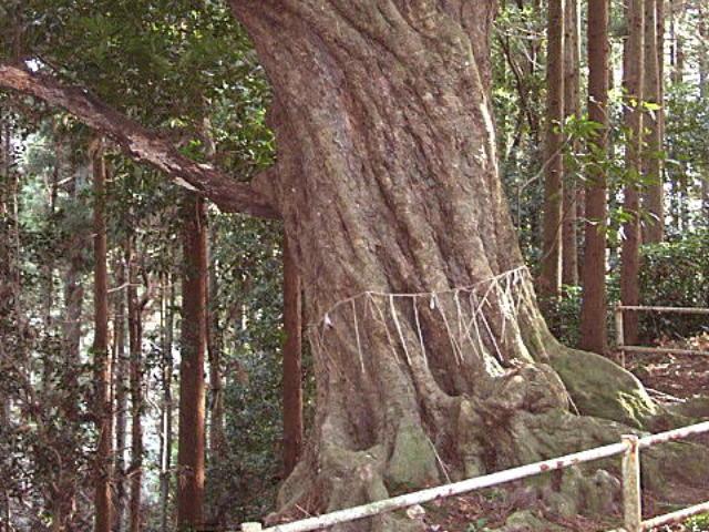 参道の神木